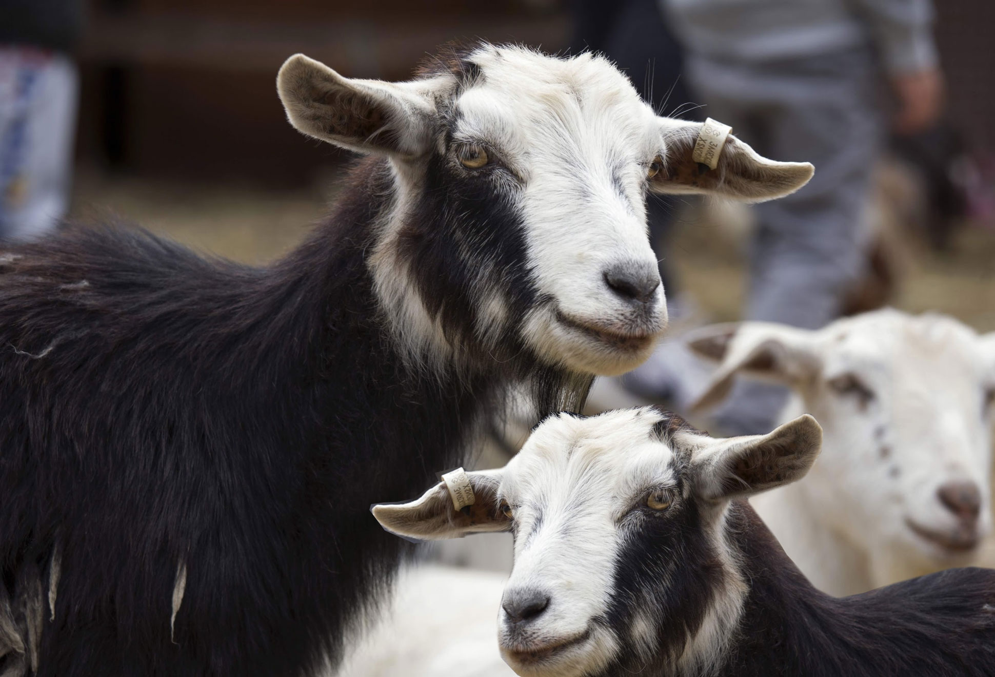 Goats Eltham Festival
